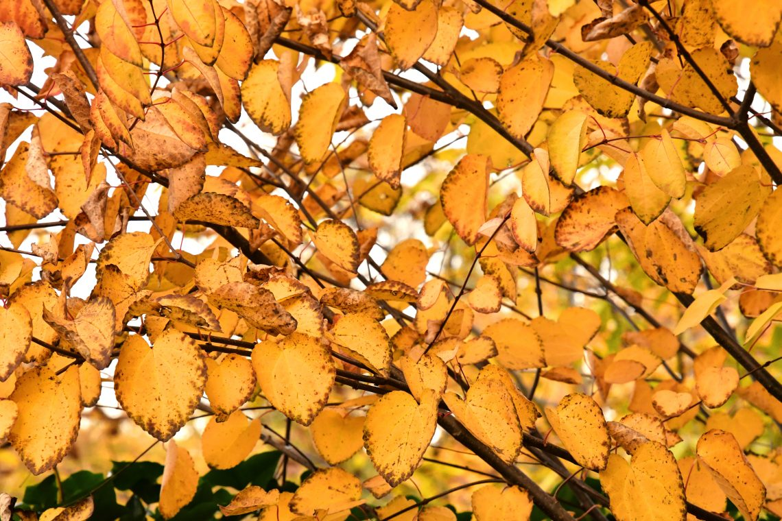 autumn leaves yellows