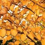 autumn leaves yellows